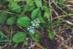 收集花蜜的山植物和蜂 库存图片
