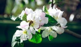 收集花蜜的开花的苹果树和蜂蜜蜂 免版税库存照片
