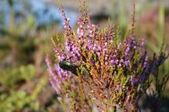收集花蜜的甲虫 免版税库存照片