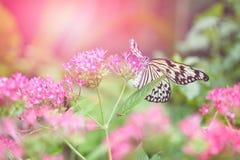 收集花蜜的纸风筝蝴蝶(树若虫)从桃红色花 免版税库存图片