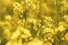 收集花蜜的蜂从在领域的一朵油菜籽花 免版税库存图片