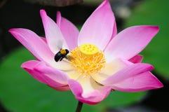 收集花蜜的蜂从莲花 库存图片