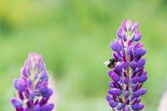 收集花蜜的蜂从 库存照片