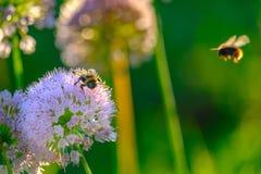 收集花蜜的蜂和土蜂从在早晨太阳的光芒的花 免版税库存照片