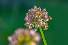 收集花蜜的蜂和土蜂从在早晨太阳的光芒的花 库存照片