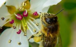 收集花蜜的蜂蜜蜂从一束白花 免版税库存图片