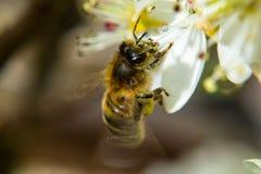 收集花蜜的蜂蜜蜂从一束白花 免版税库存照片