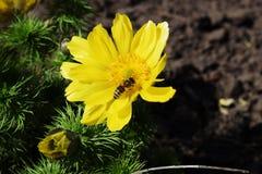 收集花蜜的蜂蜜蜂 免版税库存图片