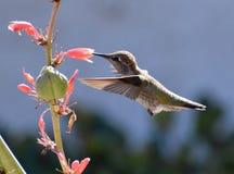 收集花蜜的蜂鸟从花 库存照片