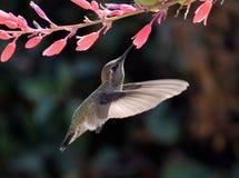 收集花蜜的蜂鸟从花 免版税库存图片