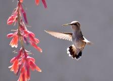 收集花蜜的蜂鸟从花 图库摄影