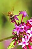 收集花蜜的蜂 库存照片
