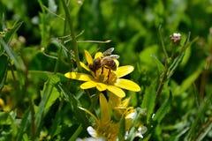 收集花蜜的蜂 免版税库存图片