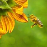 收集花蜜的蜜蜂从一个美丽的黄色向日葵 o 免版税库存照片