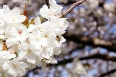 收集花蜜的蜜蜂从白花开花 免版税库存照片