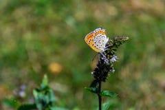 收集花蜜的蝴蝶从一朵薄荷的花 库存图片