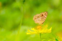 收集花蜜的蝴蝶 库存图片