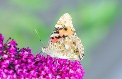 收集花蜜的被绘的laidy蝴蝶在budleja开花 免版税库存照片