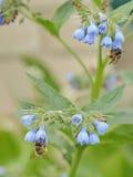 收集花蜜的长毛有脚的花蜂从lungwort 图库摄影