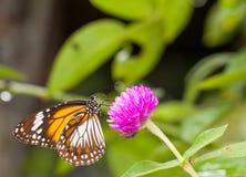 收集花蜜的马来的老虎丹尼亚斯affinis蝴蝶从花 库存照片