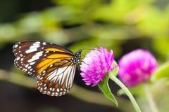 收集花蜜的马来的老虎丹尼亚斯affinis蝴蝶从花 免版税库存照片