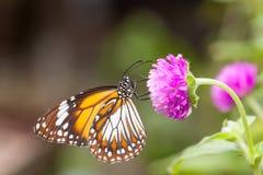 收集花蜜的马来的老虎丹尼亚斯affinis蝴蝶从花 免版税库存图片