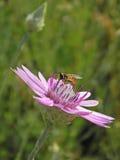收集花蜜的Hoverfly从immortelle 免版税库存图片