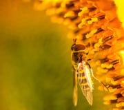 收集花蜜的Syrphid飞行 免版税库存图片