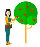 收集苹果的农夫 库存图片