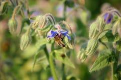 收集草本蜂蜜的蜂 免版税图库摄影