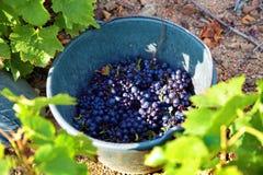 收集葡萄到收获的桶里在葡萄园 库存图片