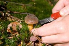 收集蘑菇 免版税库存照片