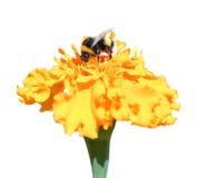 收集蜂蜜和万寿菊在秋天的蜂 免版税库存照片