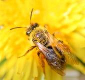 收集蜂蜜和蒲公英的蜂 免版税库存照片