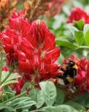 收集蜂蜜的开花羽扇豆和一只大蜂在春天的晴天在马耳他,红色凶猛领域,马尔他自然,红色花fie 图库摄影