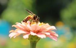 收集蜂蜜的时刻 图库摄影