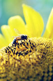 收集蜂蜜花粉的蜂 免版税库存图片