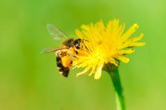 收集蜂蜜花粉的蜂 库存图片