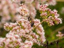 收集野花花粉的加利福尼亚土蜂在拉古纳海岸原野公园,拉古纳海滩, 免版税库存图片