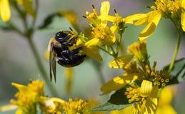 收集食物的蜂从野花 免版税库存照片