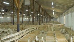 收集鸭子鸡蛋走在有鸟的小牧场中的家禽场的工作者 股票视频