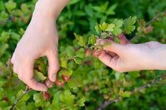 收集鹅莓的妇女的手 免版税库存照片