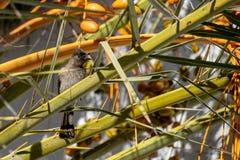 收集黄色日期果子的共同的歌手Pycnonotus barbatus从热带棕榈树 库存图片