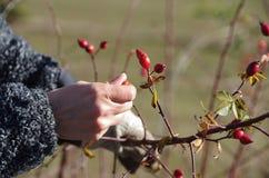 收集2的野玫瑰果 免版税库存图片