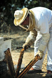 收集Rosh的Hashana蜂蜜 库存图片