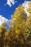 改变与一华美的clou的美丽的金黄亚斯本树肤色 免版税图库摄影
