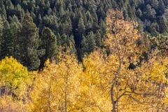 改变肤色的亚斯本树反对绿色杉树的领域 免版税图库摄影