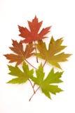 改变肤色的秋叶被隔绝 库存照片