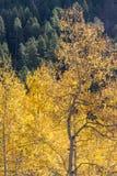 改变肤色的美丽的亚斯本树叶子 库存照片