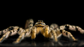 攻击准备好的蜘蛛 免版税图库摄影